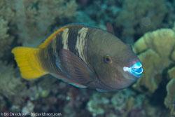BD-131209-St-Johns-1003-Scarus-ferrugineus.-Forsskål.-1775-[Rusty-parrotfish].jpg